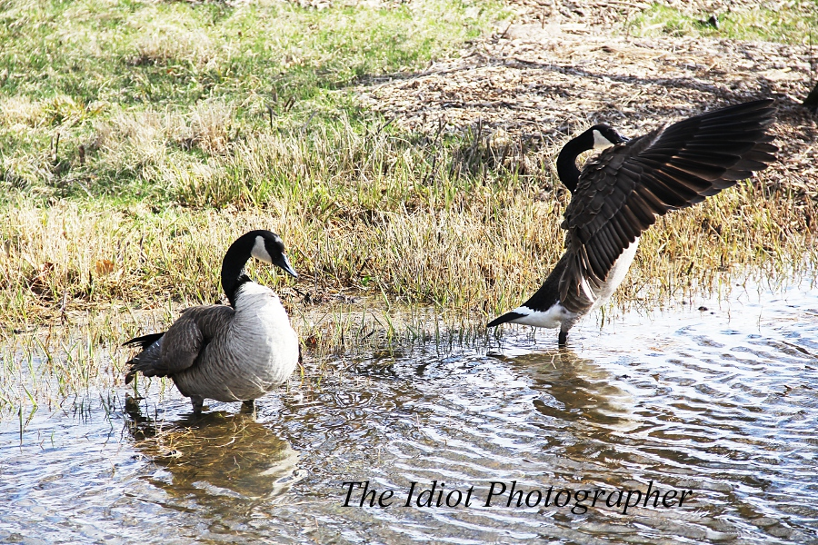 goose charge