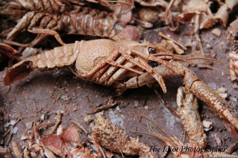 Horace Mann Crayfish