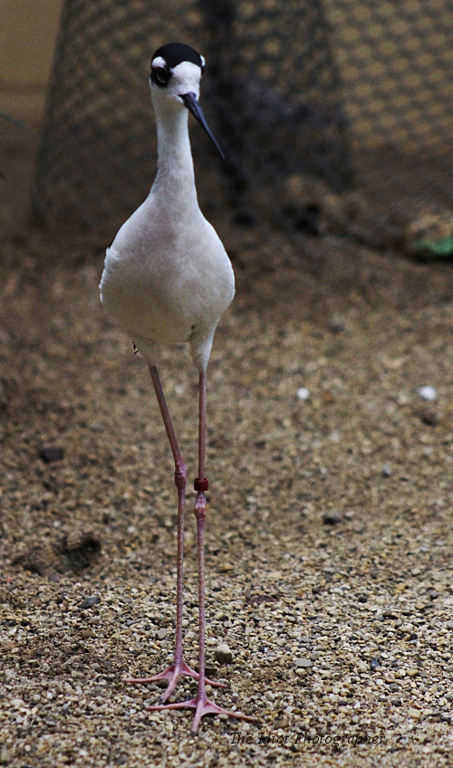 Black Naped Stilt