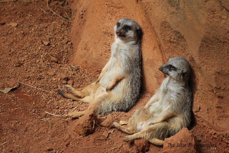 meerkats chilling