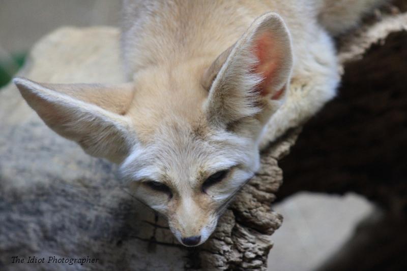 sleepy fennic fox