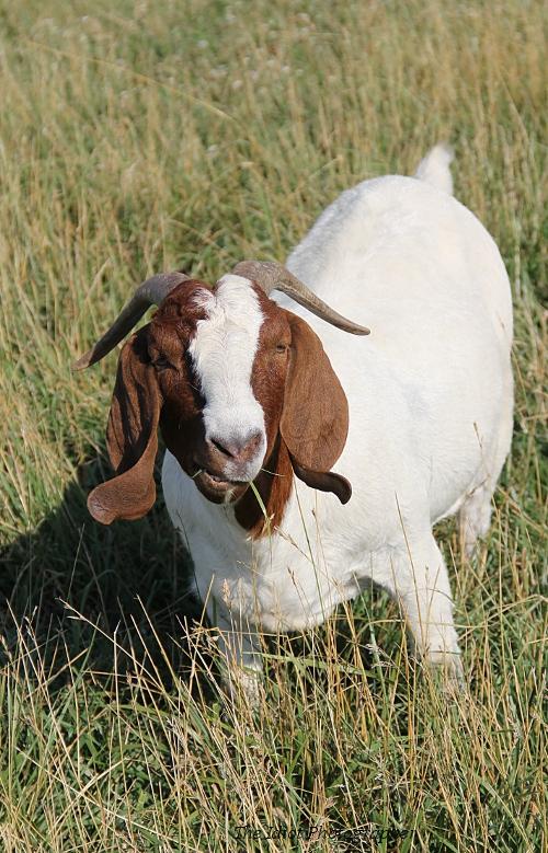 goat in grass