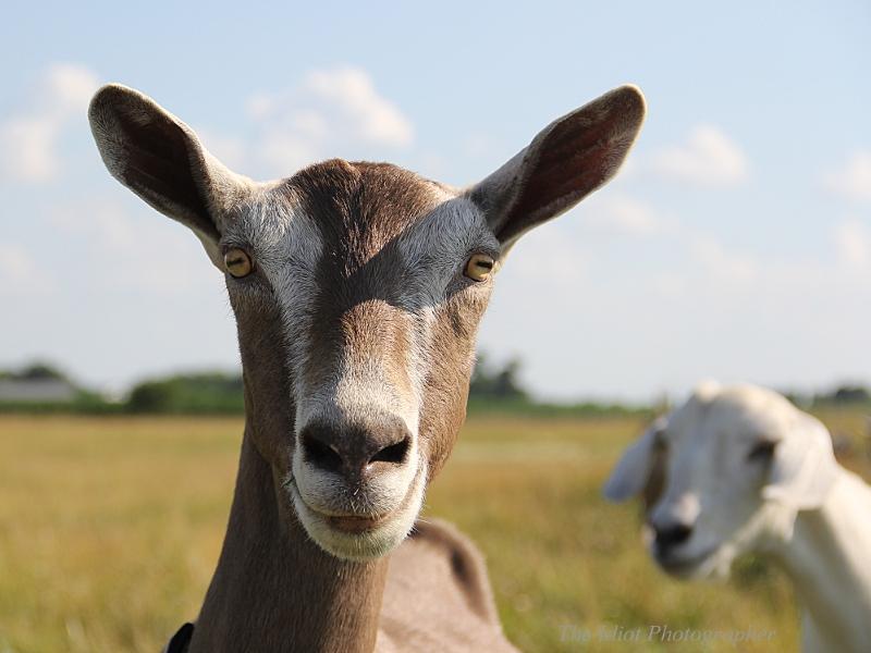 goat photobomb