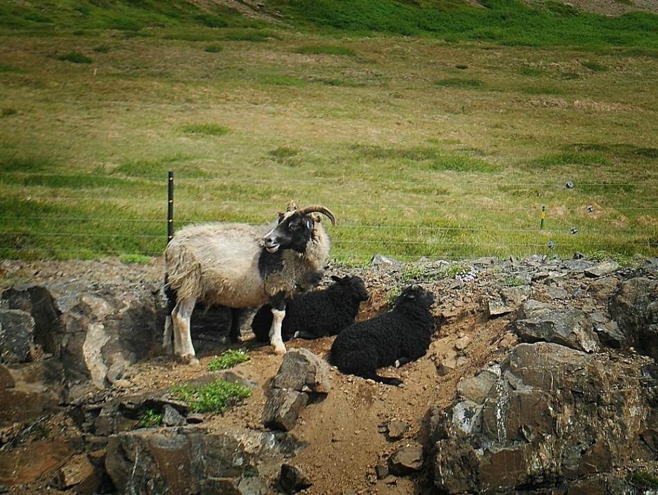 goats.wp
