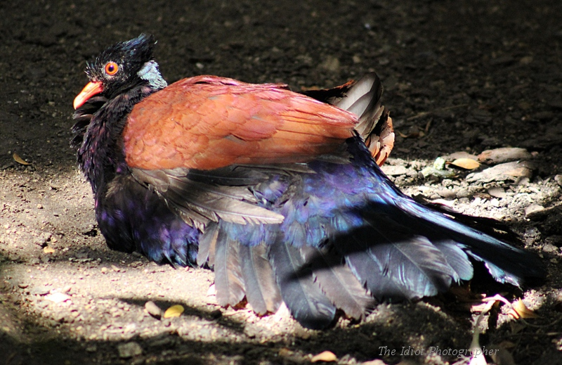 Green Naped Pheasant