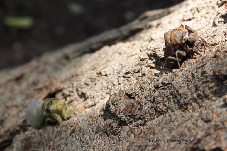 cicada and shell