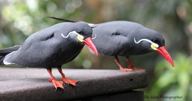 inca tern couple