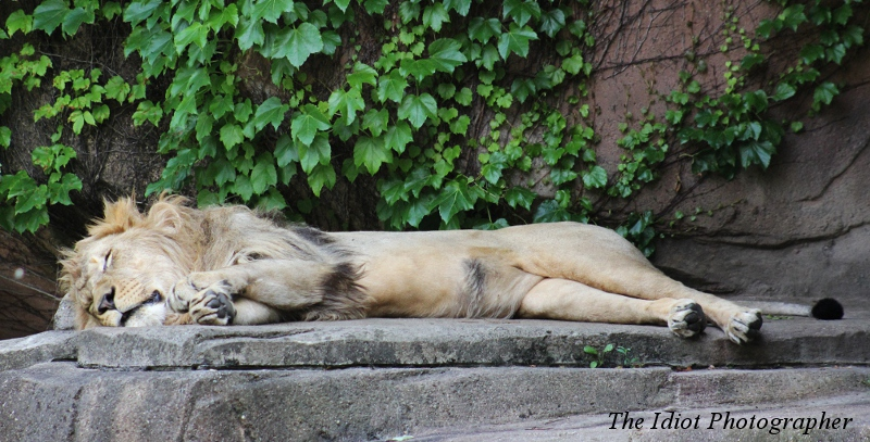 Lion flattened