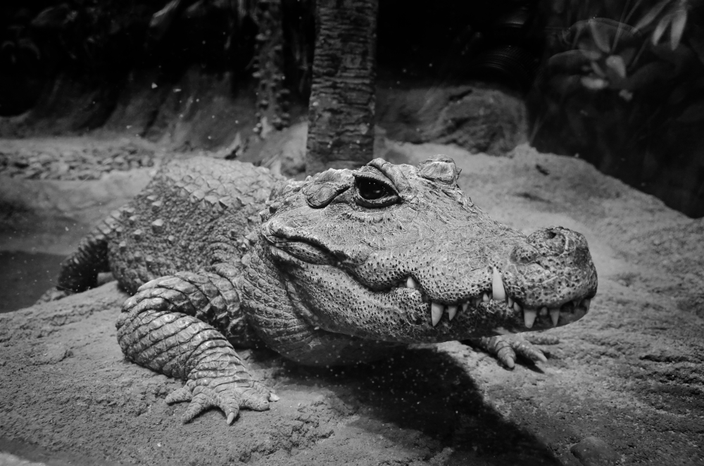 December 2 2014 categories tabula rasa tags animal black and white crocodile gorilla photo photography wildlife zoo leave a comment