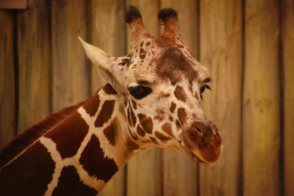 Giraffe.wp